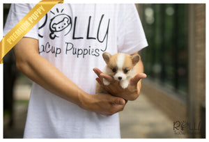(SOLD to Fermin) Daisy - Corgi. F - Rolly Teacup Puppies