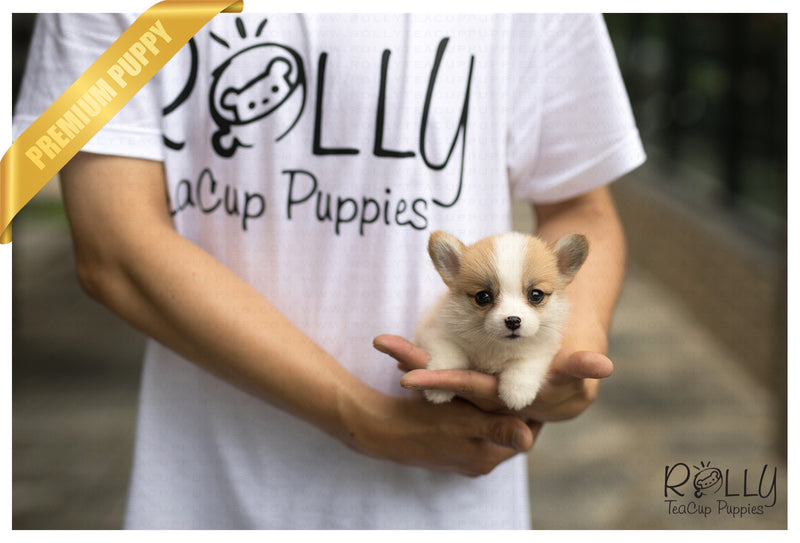 (SOLD to Fermin) Daisy - Corgi. F - Rolly Teacup Puppies - Rolly Pups