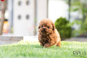 (SOLD to Cheng) Daisy - Poodle. F - Rolly Teacup Puppies