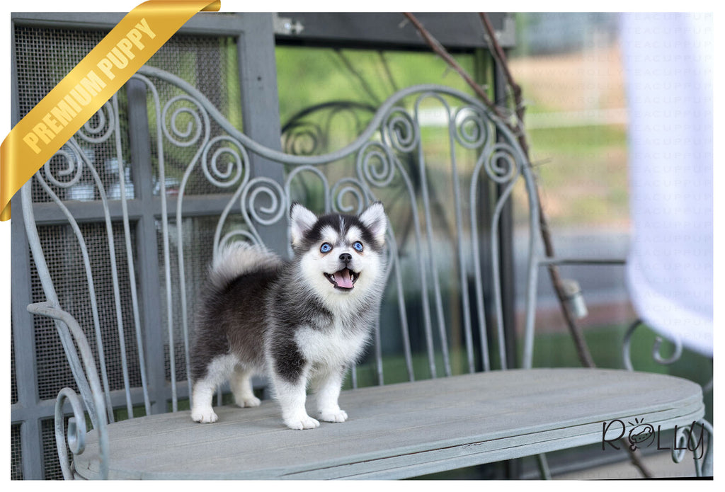 (Purchased by Negrao) Dakota - Pomsky. F - Rolly Teacup Puppies
