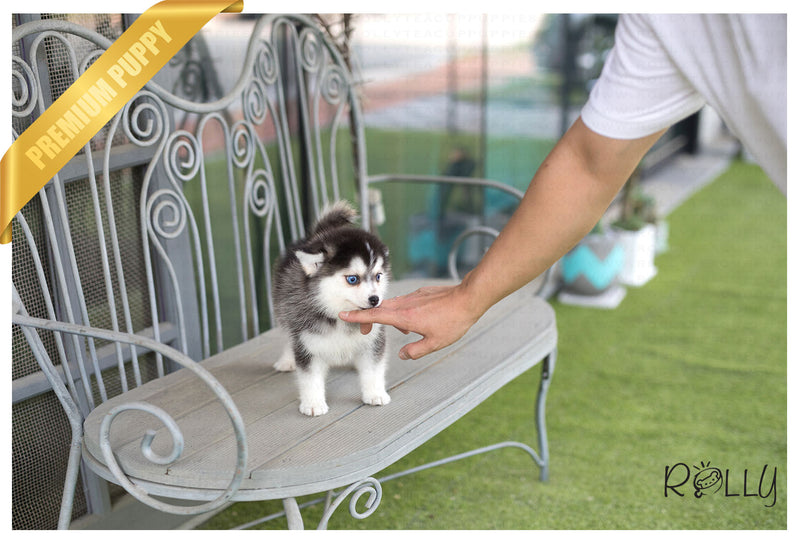 (Purchased by Negrao) Dakota - Pomsky. F - Rolly Teacup Puppies - Rolly Pups