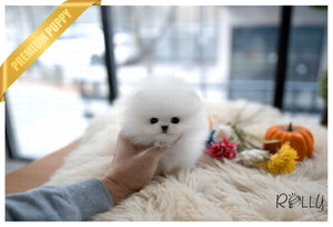(Purchased by Rzucidlo) Dandelion - Pomeranian. F - Rolly Teacup Puppies - Rolly Pups