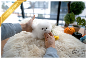 (Purchased by Rzucidlo) Dandelion - Pomeranian. F - Rolly Teacup Puppies