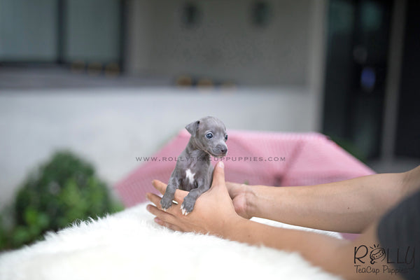 (SOLD to Queen)Dash - Italian Gray. M - Rolly Teacup Puppies