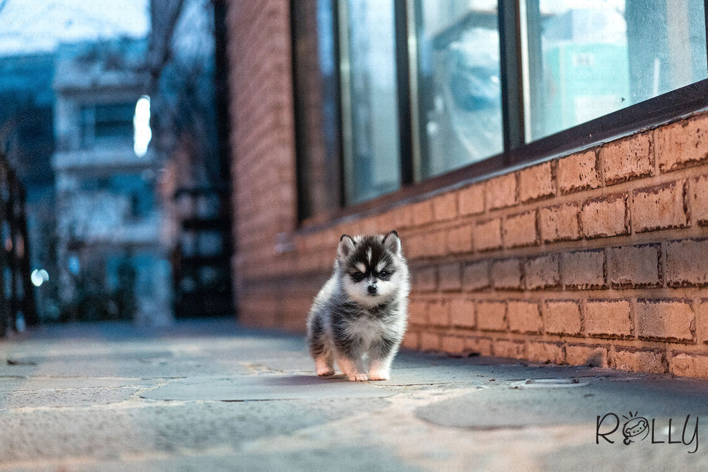 Dash - Pomsky. M - Rolly Teacup Puppies