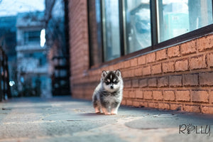 (Purchased by Valenzuela) Dash - Pomsky. M - Rolly Teacup Puppies - Rolly Pups