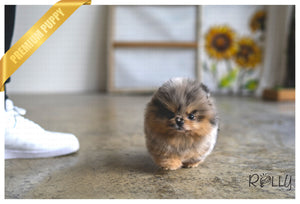 (PURCHASED by Badre) DAZZLE - Pomeranian. F - ROLLY PUPS INC