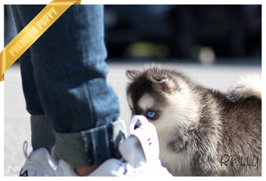(Purchased by Aleska) Denali - Pomsky. F - Rolly Teacup Puppies