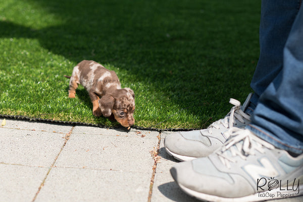 (SOLD to Wonner) Dexter - Dachshund. M - Rolly Teacup Puppies