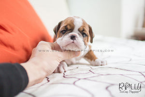 (SOLD to Martinez) Dexter - English Bulldog. M - Rolly Teacup Puppies