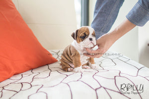 (SOLD to Martinez) Dexter - English Bulldog. M - Rolly Teacup Puppies - Rolly Pups