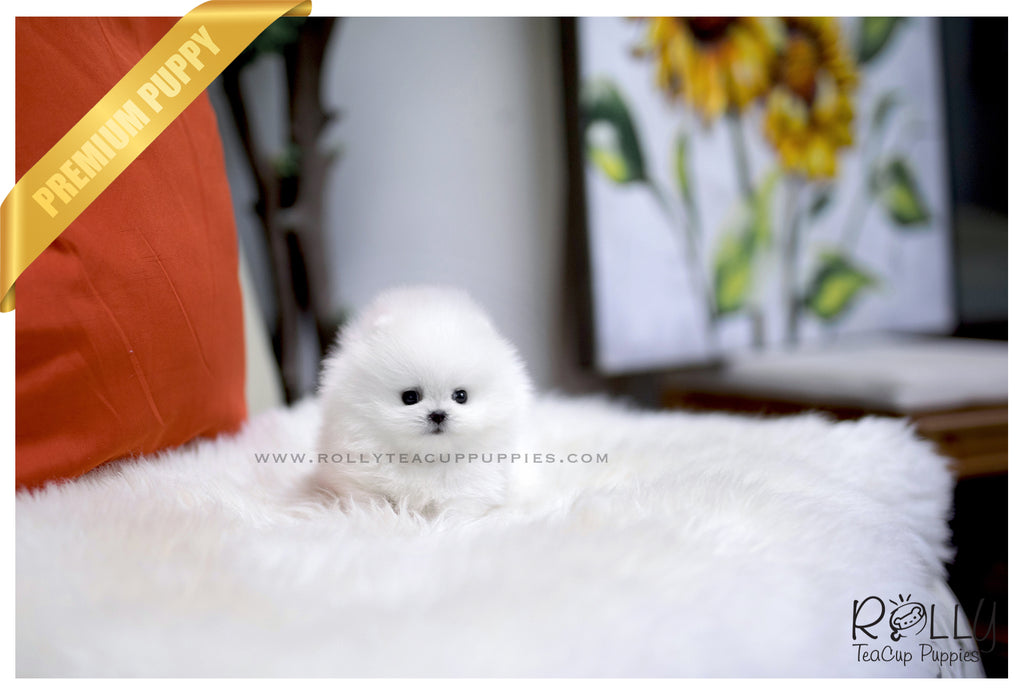 (SOLD to Campo) Dia - Pomeranian. F - ROLLY PUPS INC