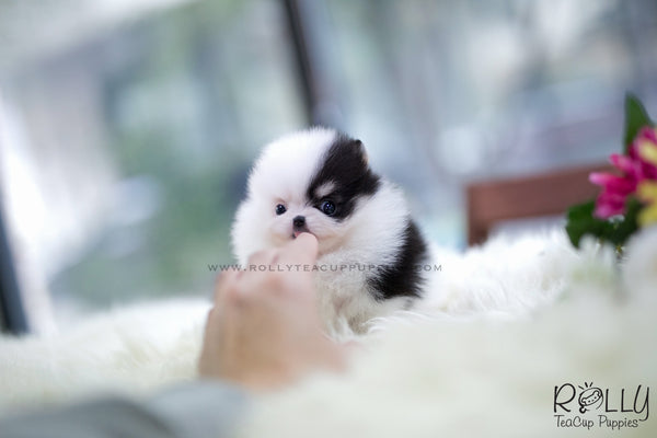 (SOLD to Polat) Dicey - Pomeranian. F