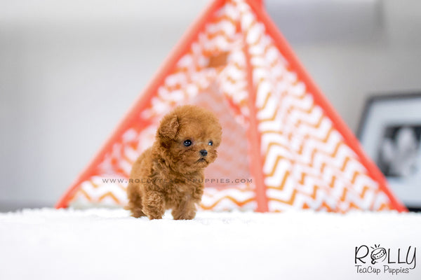(SOLD to Nguyen) Diva - Poodle. F - Rolly Teacup Puppies