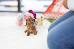 (SOLD to Bennett) Dixie - Dachshund. F - Rolly Teacup Puppies