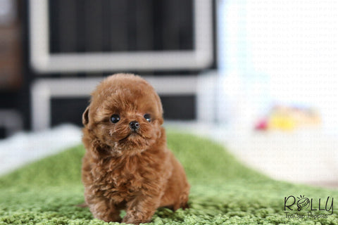 (RESERVED by Jordon) Dixie - Poodle. F - Rolly Teacup Puppies