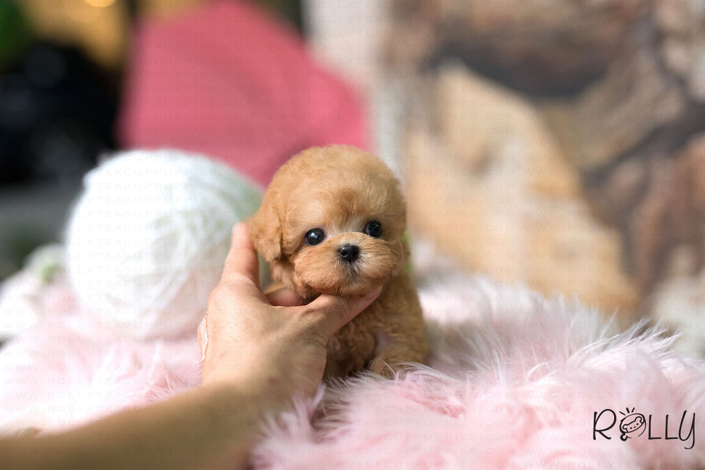 (Purchased by Marin) Dodo - Poodle. M - ROLLY PUPS INC