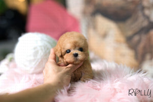 (Purchased by Marin) Dodo - Poodle. M - Rolly Teacup Puppies