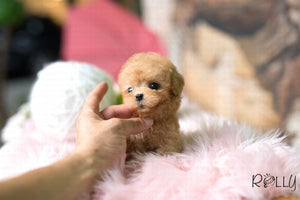 (Purchased by Marin) Dodo - Poodle. M - Rolly Teacup Puppies - Rolly Pups