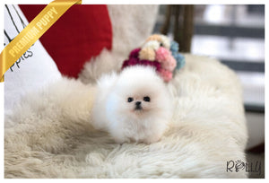 (Purchased by Dang) Dolce - Pomeranian. F - Rolly Teacup Puppies - Rolly Pups