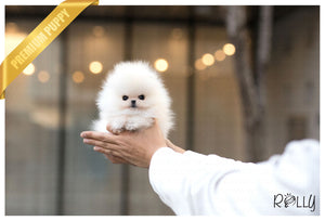 (Purchased by Dang) Dolce - Pomeranian. F - Rolly Teacup Puppies