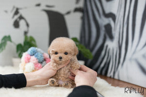 (Purchased by Tran) Dolly - Poodle. F - Rolly Teacup Puppies