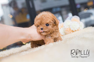 Dolly - Poodle - Rolly Teacup Puppies