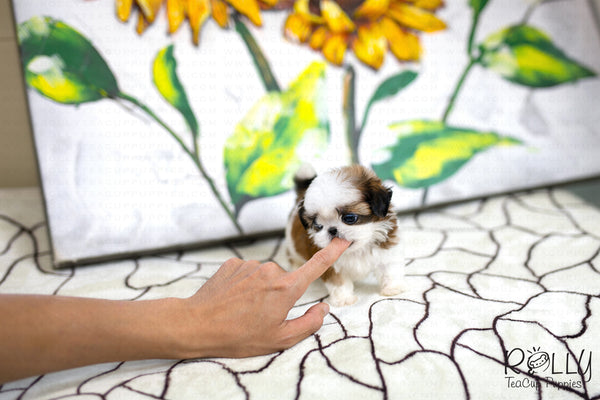 (SOLD to Yau) Donut - Shih Tzu. M - Rolly Teacup Puppies