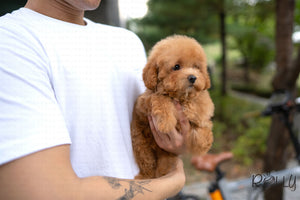 (PURCHASED by Tracy) JENNY - Golden Doodle. F - Rolly Teacup Puppies - Rolly Pups