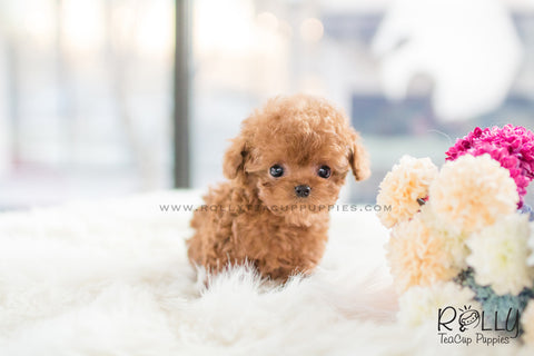 (RESERVED to May) Drake - Poodle. M