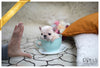 (Purchased by Rizzo) Duke - French. M - Rolly Teacup Puppies
