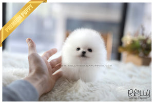(SOLD to Kogan) Dumpling - Pomeranian. M - Rolly Teacup Puppies - Rolly Pups