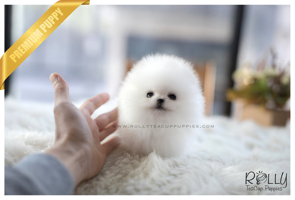 (SOLD to Kogan) Dumpling - Pomeranian. M - Rolly Teacup Puppies