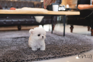 (PURCHASED by Huang) EDDIE - Maltese. M - ROLLY PUPS INC