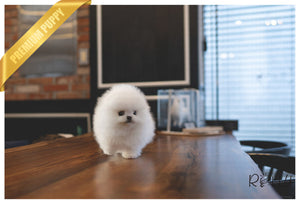 (PURCHASED by SCOTT) ELSA - Pomeranian. F - ROLLY PUPS INC