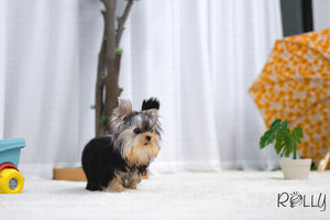 (Purchased by Lee) Eclipse - Yorkie. M - ROLLY PUPS INC