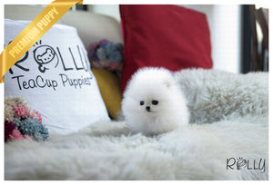 (Purchased by Inger) Elf - Pomeranian. M - Rolly Teacup Puppies - Rolly Pups