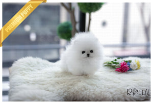 (Purchased by Inger) Elf - Pomeranian. M - Rolly Teacup Puppies