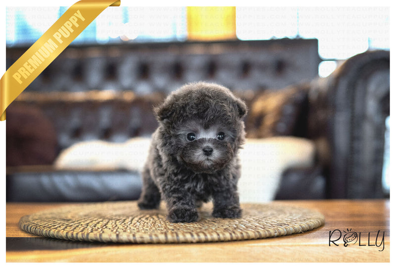(PURCHASED by Perrier) ELISE - Poodle. F - Rolly Teacup Puppies - Rolly Pups