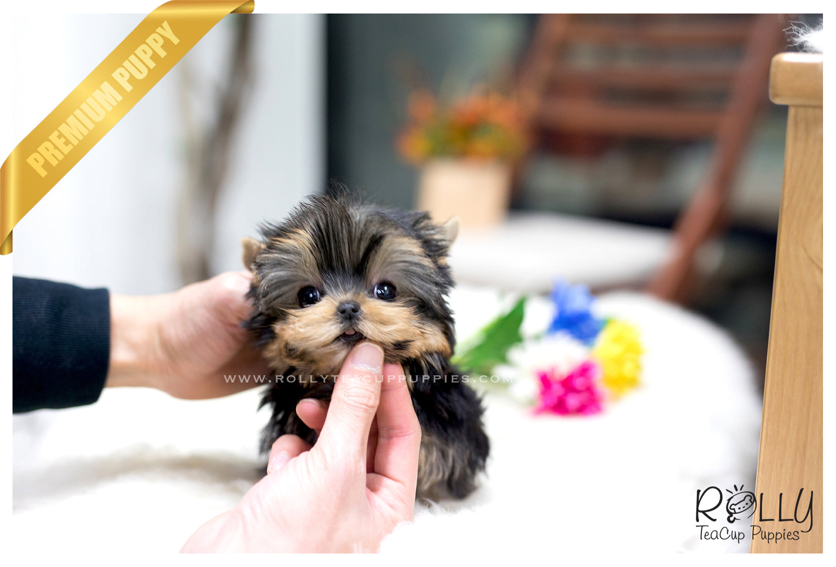 Sold To Michelle Ella Yorkshire Terrier F Rolly Teacup Puppies