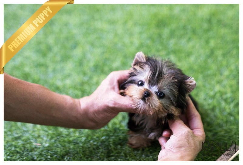 (SOLD to Maller) Ellie - Yorkie. F - Rolly Teacup Puppies