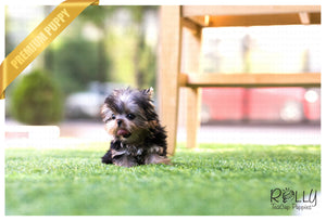 (SOLD to Maller) Ellie - Yorkie. F - Rolly Teacup Puppies - Rolly Pups