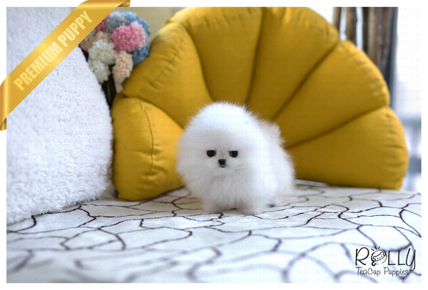 (Purchased by Kylie) Elsa - Pomeranian. F - Rolly Teacup Puppies