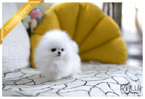 (Purchased by Kylie) Elsa - Pomeranian. F - Rolly Teacup Puppies - Rolly Pups
