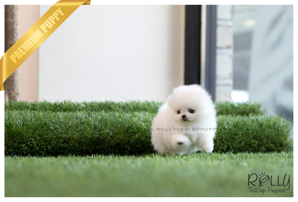 (SOLD to Zarabi) Elsa - Pomeranian. F - Rolly Teacup Puppies