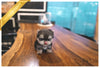 (PURCHASED  by DURAN) EMMA - Morkie. F - ROLLY PUPS INC