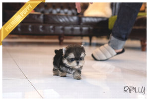 (PURCHASED  by DURAN) EMMA - Morkie. F - Rolly Teacup Puppies - Rolly Pups
