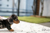 (PURCHASED by Dixon) FRANKIE - Dachshund. M - Rolly Teacup Puppies - Rolly Pups