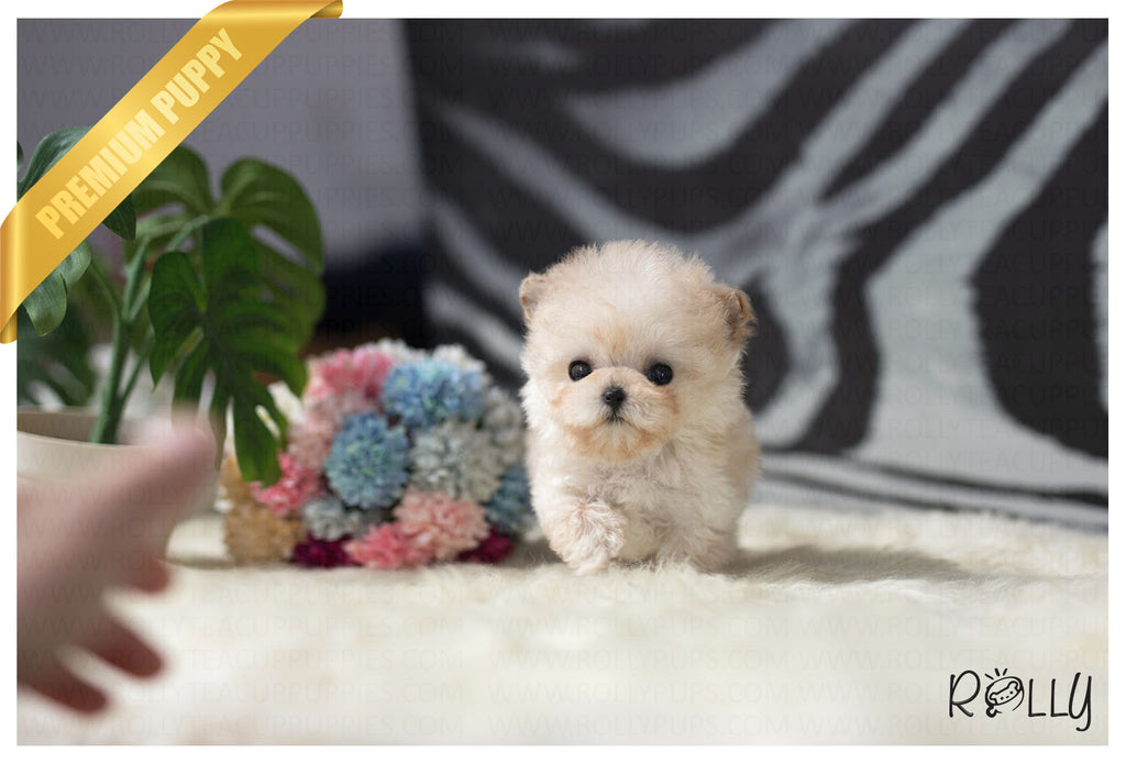 (Purchased by Taylor)Fuzzy - Poodle. M - ROLLY PUPS INC