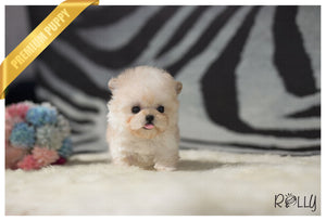 (Purchased by Taylor)Fuzzy - Poodle. M - Rolly Teacup Puppies - Rolly Pups